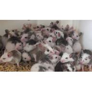 Krysa malá (Mastomyš)